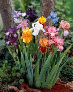 iris   Rappelez vous que la floraison des iris comble une période ...