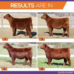 Mark That Card: Red Angus Heifers - Sure Champ Livestock Judging, Livestock Farming, Showing Livestock, Goat Farming, Farm Animals, Cute Animals, Reptile Cage, Reptile Enclosure, Animales