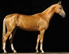 Palomino Akhal teke stallion, Prospekt. One more time ...