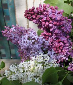 Family Lilacs...