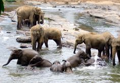 Elephants Swimming - Baby elephants playing in the water in Sri Lanka