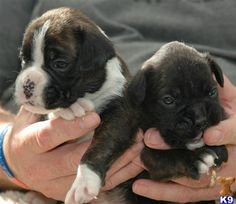 I want another Boxer puppy