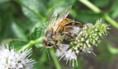 Birdbath Soup: Bee on Mint