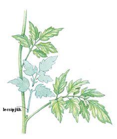 Paradicsom metszése fattyazása kacsozása - gazigazito.hu Plant Leaves, Vegetables, Garden, Plants, Outdoor, Decor, Outdoors, Garten, Decoration