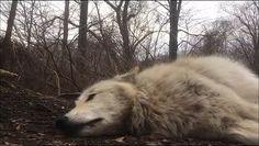 Hurlement d'un loup paresseux http://www.dailymotion.com/video/x4iymhx_hurlement-d-un-loup-paresseux_animals