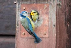 Feeding time for these blue tits spotted last week at Charlecote, Warwickshire.  Thanks to Jana Melichar.