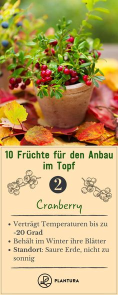 10 Früchte für den Anbau im Topf - Plantura 10 fruits for growing in a pot - cranberry: the cranberry is evergreen and hardy. So it can also be grown in a pot and fits on every balcony. You can find m Balcony Plants, Outdoor Plants, Diy Garden Projects, Diy Garden Decor, Garden Pots, Vegetable Garden, Variety Of Fruits, Palmiers, Crescendo