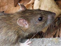bristol rat and rodent control