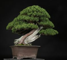 樹齢約200年 真柏