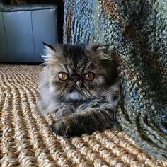 one of meowms favorites. purrty boy Via: @ladyandlittleman #PersianCat