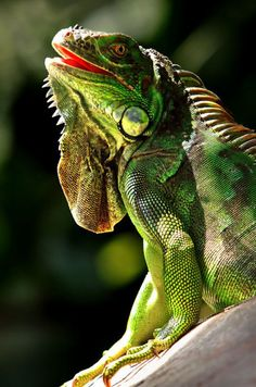 Reptiles and amphibians Les Reptiles, Cute Reptiles, Reptiles And Amphibians, Beautiful Creatures, Animals Beautiful, Iguana Verde, Iguana Pet, Animals And Pets, Cute Animals