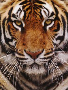 Bengal Tiger Face, Panthera Tigris, Asia Fotografisk tryk af Adam Jones på AllPosters.dk