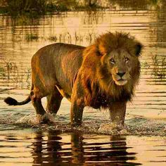Lion in the Okavango Delta Beautiful Lion, Animals Beautiful, Nature Animals, Animals And Pets, Big Cat Family, Lion Photography, Big Cats Art, Gato Grande, Wild Lion