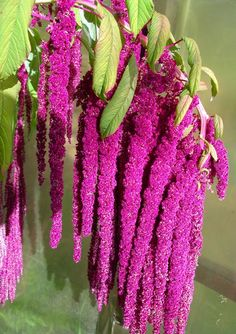 Amaranth flowers the seeds are contained inside the pink flowers Pretty Flowers, Plants, Unusual Flowers, Amazing Flowers, Pink Flowers, Beautiful Flowers, Orchids, Love Flowers, Trees To Plant