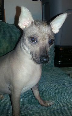 65 Best Hairless Chihuahua Images In 2019 Dogs Cute Dogs