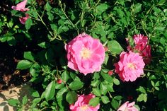 Here's another pretty shrub rose I planted earlier.