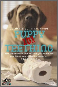 Puppy Teething Ultimate Survival Guide for Large Breed Puppies Training Your Puppy, Dog Training Tips, Training Classes, Schnauzer, Puppy Teething, Teething Toys, Puppies Tips, Mutt Puppies, Cavachon Puppies