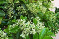 Viburnum Lucidum - http://www.jardineriaon.com/viburnum-lucidum.html #plantas
