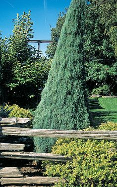 Slate-like blue-green foliage requires little pruning. A slender, slow growing upright evergreen. Very hardy.