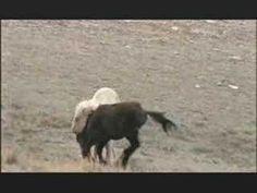NATURE   Cloud's Legacy: The Wild Stallion Returns  Boulder