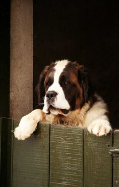 st. bernard sweetheart ♡... Re-pin by StoneArtUSA.com ~ affordable custom pet memorials for everyone.