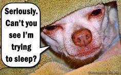 Sleeping Chihuahua quote via www.Facebook.com/ChihuahuaHaHa