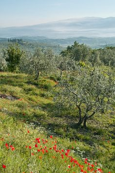 Chianti, Italy. The olive trees are beautiful and plentiful.