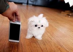 Baby Lola Small Gorgeous female Teacup Maltese image 1