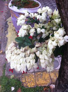 Lágrimas de Cristo na Rua Itabaiana