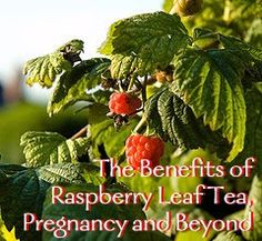 Pregnancy & Raspberry Leaf Tea