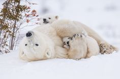 Two polar bear cubs cuddle with their mother in this National Geographic Your Shot Photo of the Day.
