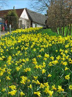 Daffodils pop up throughout RHS Garden Hyde Hall in Clemsford, Essex, in England. (Photo/(C) RHS).