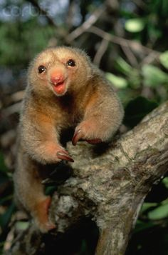 To be this happy! silky anteater | Silky Anteater in the Caroni Swamp