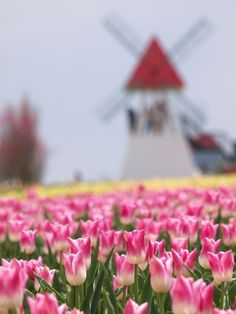 tulip  (LOVE this with the windmill in the background!ca)