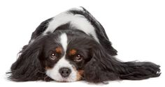 Cavalier King Charles Spaniels are pre-disposed to these illnesses