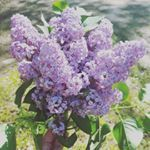 Lilacs from our trees nhliving nh newhampshire lilacs momblog mommyblog mommyblogger mamabear twinmama workingmom workingmama momlife springblooms farmhouseflowers