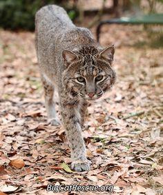 Anasazie Bobcat invites YOU to check out today's Big Cat Updateshttps://bigcatrescue.org/feb-13-2017/