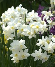 Narcissus Sailboat - Jonquilla Narcissi - Narcissi - Fall 2014 Flower Bulbs