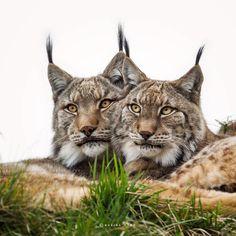 Photo Lynx lynx by Marina Cano on 500px