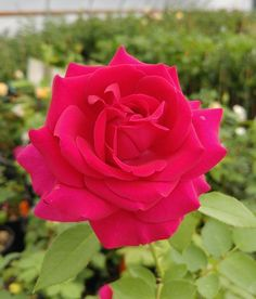 Look at the depth and deep bold pink tones from Princess Elise™! Types Of Roses, Shrub Roses, David Austin Roses, Pink Tone, Shrubs, Pretty In Pink, Beautiful Flowers, Deep, Princess