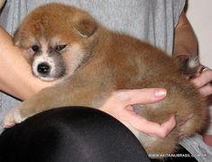 Descrição: Fêmea Vermelha /  Raça: Akita Inu /  Pai: Ryouta Go Shirai (IMP. JAP.) /  Mãe: Satsumaya Del Yucatán BR /  Nascimento: 01/03/2012 /    ▬ http://www.akitainubrasil.com.br/filhote-de-akita.html