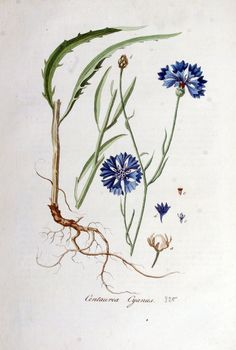 Cornflowers,- a rare sight nowadays. When I was a child the firlds were full of them, now they are sprayed and dead..