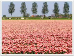 Tulips and cows on the Dutch polder (Noordoostpoder)