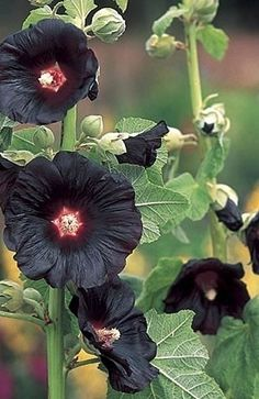 Hollyhock - 'Black Knight' (Alcea rosea 'Black Knight')