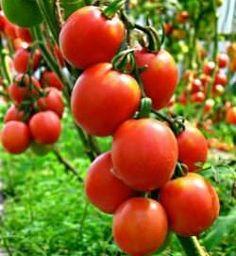 Помидоры «Де Барао»: описание сорта и технология выращивания