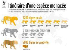 Tigre : itinéraire d'une espèce menacée   Il ne reste que 3200 tigres en liberté dans le monde. Aidez-nous à doubler ce nombre d'ici 2022 en signant la pétition.  http://3200tigres.wwf.fr/