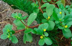 Beldroega-Talinum paniculatum