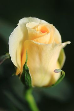 ROSES: pale peachy yellow rose bud.
