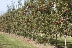 Rows and rows of fruit trees to pick from Pick Your Own Apples, Orchards, Fruit Trees, The Row, Plants, Plant, Fruit Tree Garden, Planets