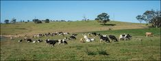 Dairy cattle on Mount Mee farm Conservation, Dairy Cattle, Livestock, Cow, Creative, Illustration, Animales, Cows, Cattle